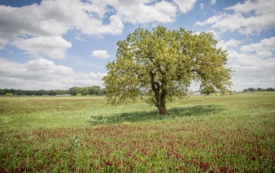Il paesaggio e la vegetazione può diventare simbolo di un territorio: qui una quercia nel territorio di Martina Franca (TA)